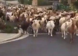 Centenas de cabras fugiram e invadiram as ruas da Califórnia, nos Estados Unidos