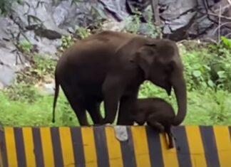 Mamã elefante usa tromba para ajudar filhote a subir uma barreira na estrada