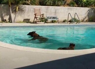 Mãe e filho urso invadem casa todos os dias para tomar banho de piscina