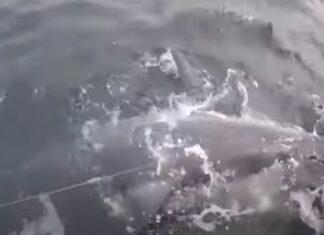 Britânico apanha tubarão enorme mas devolve-o à natureza
