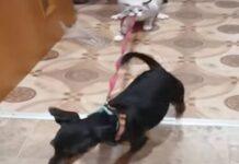 Gato segura na trela do cão com os dentes para ele não fugir