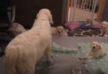 Mãe ensina os seus filhotes cachorros de 8 semanas a ficarem calmos