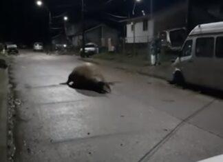Elefante-marinho regressa ao mar com ajuda da população, depois de se ter perdido nas ruas do Chile