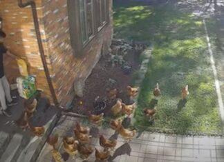 Estafeta é cercado por galinhas enquanto fazia uma entrega