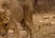 ONG encontra animais em situação muito grave em Zoo na África