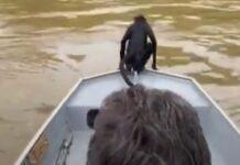 Pescadores salvam macaco que estava em apuros no rio Teles Pires