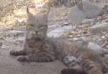 Vídeo mostra-nos técnica de lince para caçar uma serpente