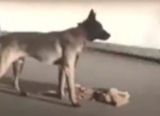 Cão arrasta gato atropelado para fora da estrada e tenta acordá-lo