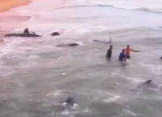 Grupos de resgate salvam 100 baleias que ficaram presas numa praia