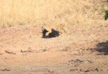 Tigre-de-Bengala e Urso-Beiçudo têm verdadeira batalha de titãs