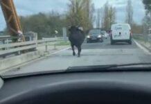 Vaca foge e passeia-se pela nacional no Ribatejo