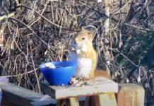 Esquilo comeu peras e ficou completamente bêbedo