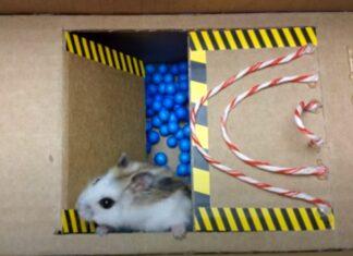 Hamster passa por vários obstáculos para conseguir sair da «prisão»