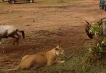 Vídeo mostra diferença entre leoa e leão na hora da caça