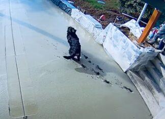 Cão corre em cima de cimento fresco e deixa o seu rastro