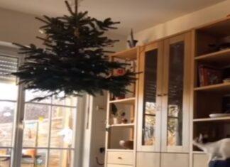 Casal pendura árvore de Natal mas ainda assim os gatos chegam lá