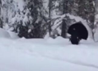 Guarda Florestal encontra um tretao na neve