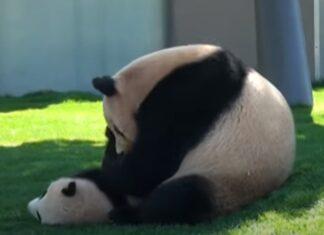 Mãe panda brinca com o seu filhote sem parar