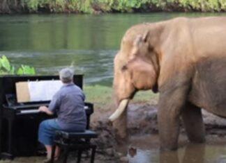 Pianista toca para um elefante idoso resgatado