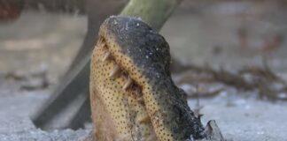 Vídeo mostra como os crocodilos sobrevivem quando a água congela