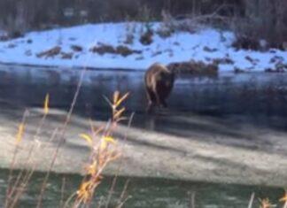 Urso cai em lago congelado depois de gelo ceder