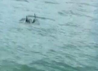 Casal de golfinhos aparece em canais de Veneza
