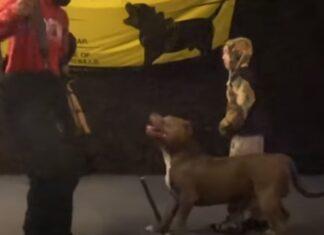 Pit Bull é treinado para defender o seu dono de 9 anos