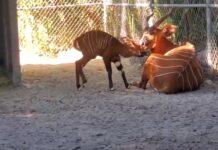Raro Bongo-Oriental nasceu num zoológico nos Estados Unidos
