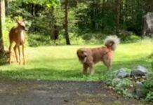Cervo e Golden Retriever brincam às corridas no jardim