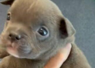 Cachorrinha nasce com 5 patas mas já é o amor da internet